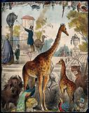 A zoo with giraffes, tigers, and a peacock
