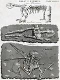 An animal skeleton of the Megatherium, a human skeleton found in Guadeloupe and the fossilised remains of a bird