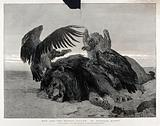 A dead lion being set-upon by three vultures