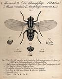 A bluebottle fly: seven figures, including details showing the head and pupae