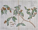 A plant related to the clove tree (Eugenia species): flowering and fruiting stem and separate flowers, fruit and seed