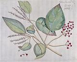 Kamala (a species of Mallotus): branch with flowers and fruit, separate flower and fruit and cross-section of fruit …