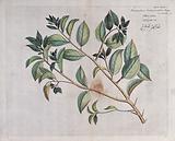 Runeala Plum (Flacourtia cataphracta Roxb.): branch with leaves