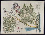 Horse-radish tree (Moringa oleifera Lam.): branch with flowers and separate flower, pods and seeds