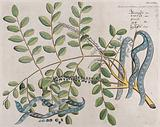 Circassian Tree or Red Sandalwood Tree (Adenanthera pavonina L): branch with flowers and pods, separate opened pod, …