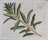 Fever bark (Croton variegatum L): branch with leaves only