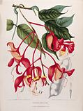 Orchid Tree or Pride of Burma (Amherstia nobilis Wallich.): flowering branch with separate fruit and sectioned ovary