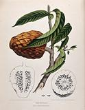 Custard apple or Bullock's heart (Annona reticulata L): fruiting branch with sections of fruit and seeds