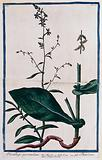 Leadwort or plumbago (Plumbago europaea L): flowering stem with separate rooting stem and fruit cluster