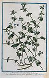 Common or scarlet pimpernel (Anagallis arvensis f caerulea (Schreber) Baumg.): flowering and fruiting stems with root …