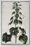 Motherwort (Leonurus cardiaca L): flowering stem with separate floral segments