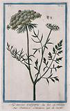 Wild carrot (Daucus carota L): flowering and fruiting stem with separate flower, fruit and seed