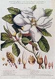 A Magnolia species: flowering stem with labelled floral segments, fruit and seed