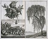 Grenadine (Punica granatum) flowers and tree and a mixture of fruit and vegetables, in separate plates