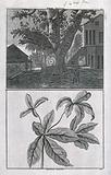 """Trunk and branch of a sacred, East Indian """"dragtoe"""" tree, in separate plates"""