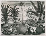 Coconuts and trees (Cocos nucifera), a cinnamon tree (Cinnamomum verum) and pinang tree (Areca catechu), in a tropical …