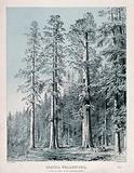 Californian redwood trees (Sequoia sempervirens (DDon) Endl.): group of trees in the Mariposa Grove, California