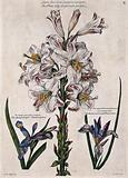 White lily striped with purple (Lilium sp) and two irises (Iris sp)