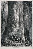 Four men standing by the huge trunk of an Australian mountain ash tree (Eucalyptus species)