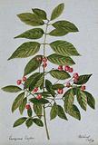 Spindle-tree (Euonymus europea): fruiting stem