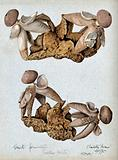 An earth-star fungus (Geastrum fornicatum): four fruiting bodies