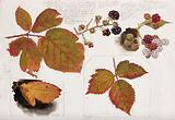 Autumn leaves and fruits of bramble (Rubus species)