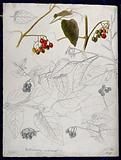 Black nightshade (Solanum nigrum): leaves and fruits
