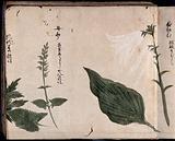 Two flowering plants, one a white lily (Lilium formosanum?)