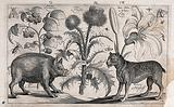 A thistle in the centre with a boar to the left facing a mastiff to the right, all surrounded by various plants and …