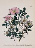 Four British wild flowers, including the burnet rose (Rosa spinosissima), eglantine rose (Rosa eglanteria) and dog …
