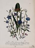 Eight British wild flowers, including teasel (Dipsacus sativa), devil's bit scabious (Succisa pratensis) and sheep's …