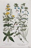 Yellow loosetrife (Lysimachia vulgaris) and scarlet pimpernel (Anagallis arvensis): flowering stems
