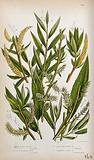 Four plant stems with catkins, all from types of willow (Salix species)