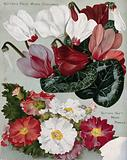 Two plant cultivars: florist's cyclamens and mixed primulas