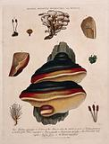 Five fungi, including two Boletus species, with anatomical detail