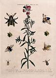 Snapdragon flower (Antirrhinum majus) with five species of bee