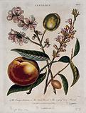 A fruiting nectarine (Prunus persica) and two almond plants (Prunus dulcis)