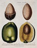 Coconut palm (Cocos nucifera): four sections of the fruit and nut