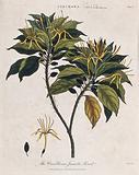 Cinchona plant (Cinchona caribbaea): flowering and fruiting branch