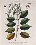 Cinchona plant (Cinchona officinalis): flowering and fruiting branch