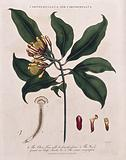Clove tree (Syzygium aromaticum): flowering and fruiting stem with cloves and parasitic worm