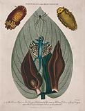 Leaf and flowers of skunk cabbage (Symplocarpus foetidum), a type of mollusc (Doris argo) and a dragon lizard (Draco …