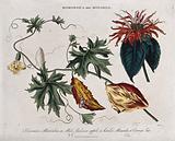 Two plants: balsam apple (Momordica balsamina) and Oswego tea or bee balm (Monarda didyma)