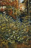 Deadly nightshade (Atropa belladonna): flowering plants growing in woodland