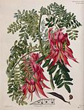 Glory pea (Clianthus puniceus): flowering stem, pod and seed
