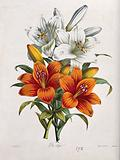 A bunch of orange and white lily flowers