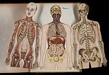 Three anatomical cut outs of a man, showing muscles, bones, heart, lungs and intestines