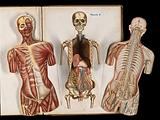 Three anatomical cut outs of a woman, showing muscles, bones, heart, lungs, blood vessels and brain