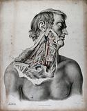 The circulatory system: dissection of the neck and shoulder of a man, with arteries, blood vessels and veins indicated …