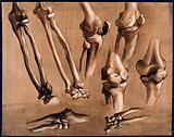 Bones of the forearm (?)